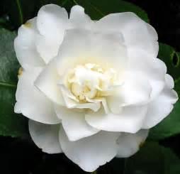 romantic flowers camellia flower