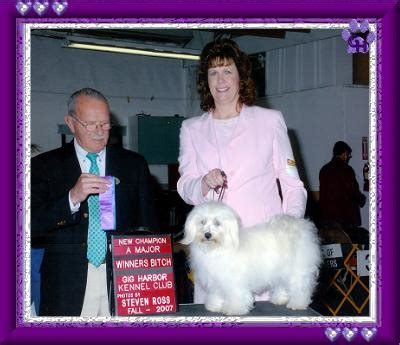 wysteria havanese our chion havanese in show grandview havanese