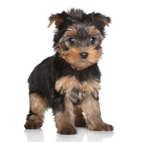 puppies for sale in ct yorkie puppies for sale tiny teacup and ct breeder