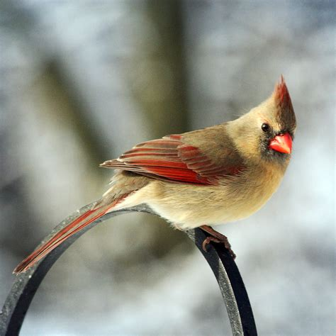 female cardinal bird drawings colorful female cardinal