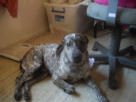 Giveaway Horses Qld - for sale give away red cattle dog