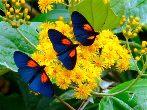 imagenes de mariposas q brillan h 225 bitos de las mariposas diurnas im 225 genes y fotos