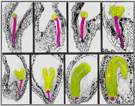 pattern formation in plant embryogenesis chapter 12a plant development