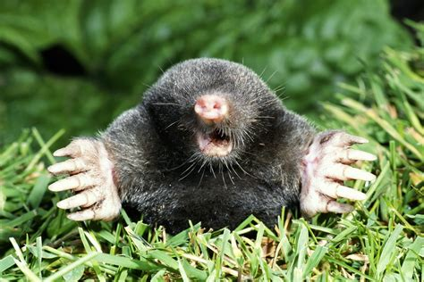 Garden Mole by What Is A Vole As Compared To A Mole