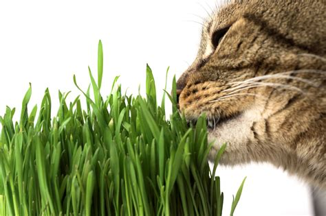 my eats grass why does my cat eat grass pet greens live cat grass
