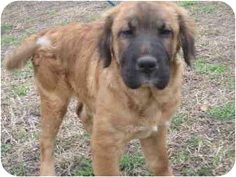 golden retriever puppies pei golden retriever shar pei mix puppy for adoption in glenburn maine