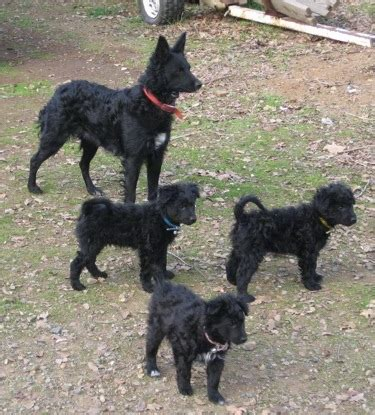 mudi puppies mudi info temperament puppies pictures