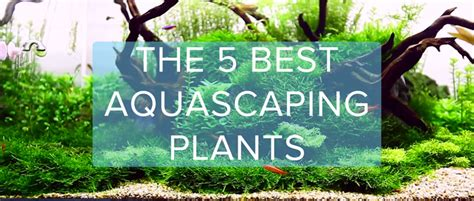 aquascape plants the top 5 best aquascaping plants aquarium info