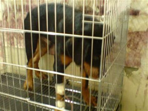 my puppy wont eat but will drink water my rotweiller name tiny doesnt drink water and dont eat for 3days a of rottweilers