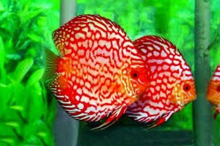 Ikan Hias Aquascape Discus Cobalt 4 wajib tahu perawatan ikan discus ikan hias air tawar