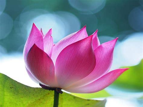 pink lotus flowers hd wallpaper  wallpaperscom