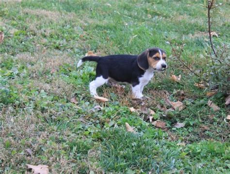 puppies for 100 dollars beagle puppies 100 dollars for sale united states 1