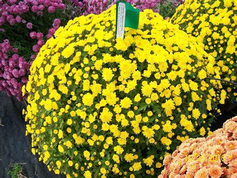 Garden Mums by Mums Raleigh Fall Plants In Nc Fairview Garden Center
