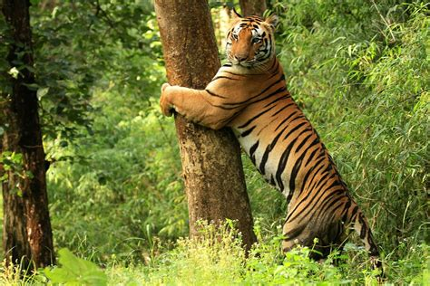 Jharkhand by Kanha Tiger Reserve Wikipedia