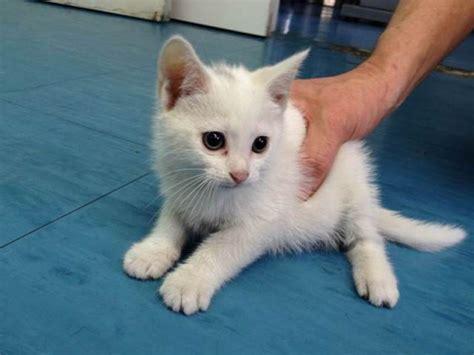 foto di gatti persiani bianchi 249 e ginevra due piccole palline bianche cn occhi