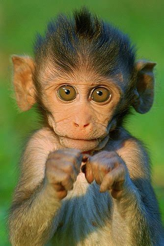image gallary  beautiful smiling monkey pictures baby monkey pictures