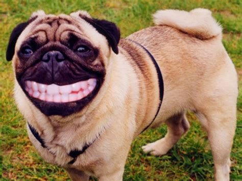 how many teeth do puppies think you your trivia here s a quiz to test your expertize playbuzz