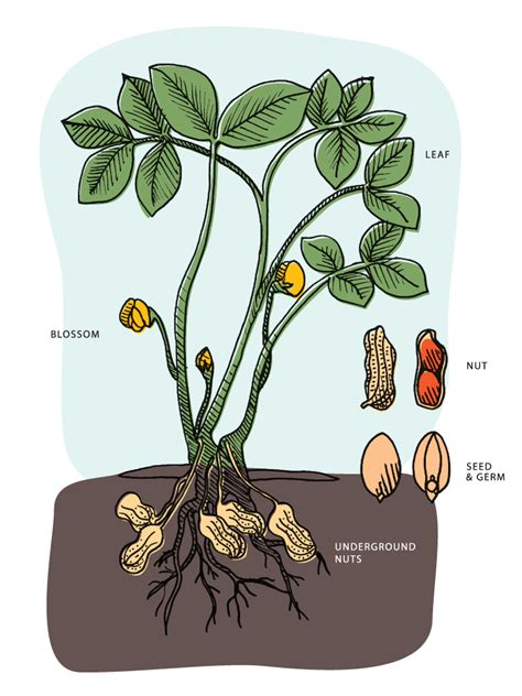 what does a tree to do with how do peanuts grow peanut producers board