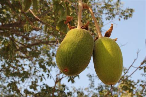 baobab fruit baobab seed is baobab adansonia digitata overview health benefits