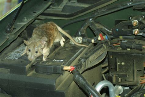 Topi Topi Trucker Maternal Disaster how to keep mice rats and other rodents out of your car