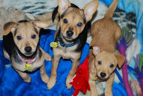 Small Dogs Looking For New Home Small Dogs Looking For Their Forever Homes For Sale In