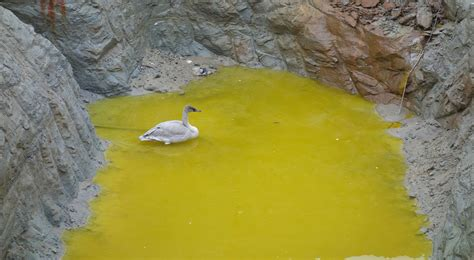 swan rescued after surviving swim in polluted pit in