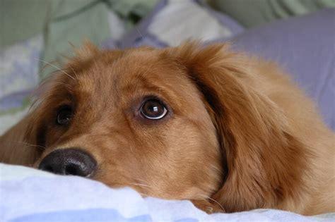 best bones for golden retriever puppies bone cancer in dogs
