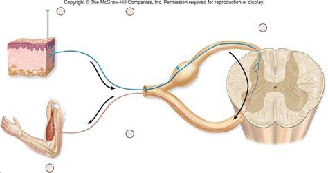 diagram of the reflex arc diagram reflex arc diagram