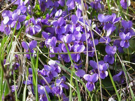 fiori violette foto fiori ed erbe spontanee rosso rosa viola