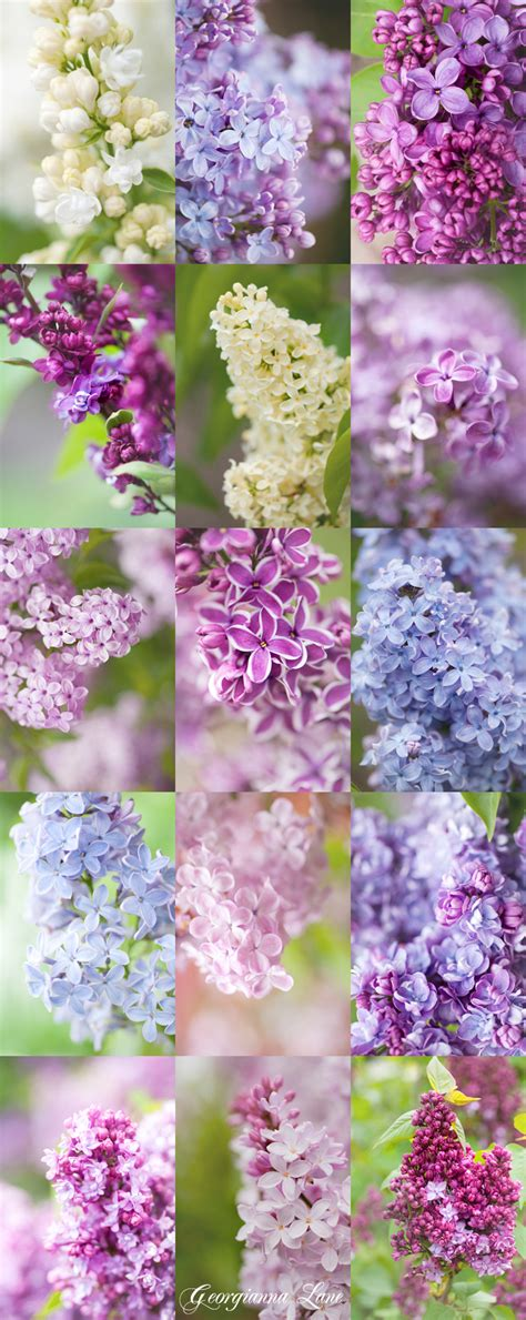 color lilac many shades of lilac