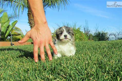 havanese breeders san diego havanese puppy for sale near san diego california ac11675b 63e1