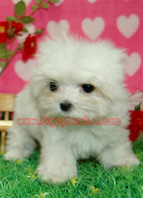 maltese puppies for sale louisiana maltese puppies for sale in new zealand maltese puppies for sale in breeds picture