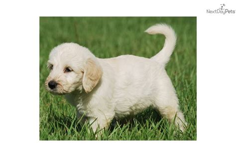 non shedding house dogs non shedding house dogs 28 images labradoodle puppy for sale near west palm