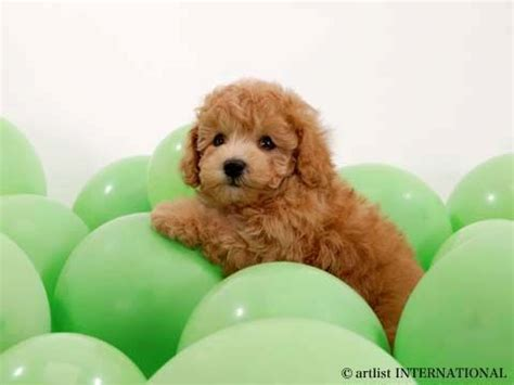 goldendoodle puppy neck size 17 best images about goldendoodles dogs i on