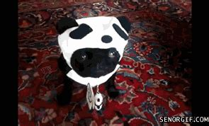 pug panda costume dogs gifs find on giphy