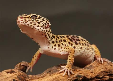 gecko bytes gecko care petmd