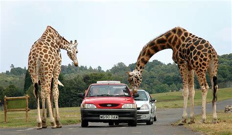 best safari park file giraffes at west midlands safari park jpg