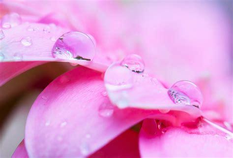 pink petals flower macro wallpaper 1024x768 resolution wallpaper water drop flower macro petal pink desktop