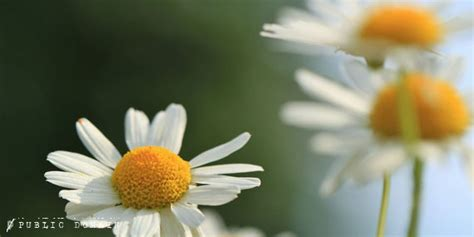 chamomile safe for cats how to make your own diy chamomile eye wash for cats and dogs