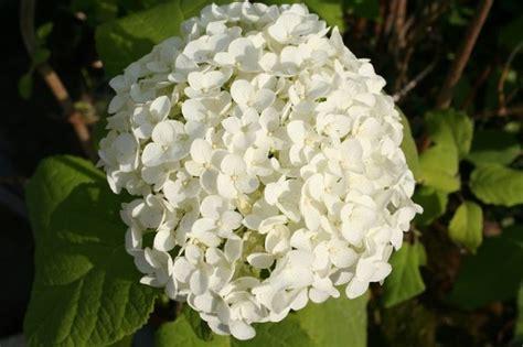 fiore a palla viburno palla di neve viburnum opulus coltivazione