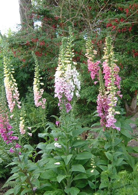 living with twisted willow foxgloves and fairy bells