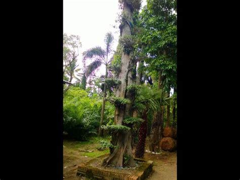 Jual Ace Maxs Jawa Timur jual pohon pule di surabaya jawa timur