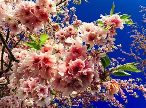 alberi di pesco in fiore ste artistiche quadri e poster con alberi fiore