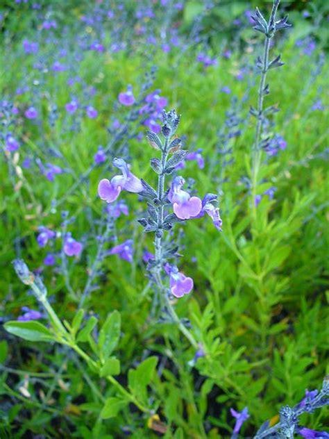 la sauge une plante aromatique et d 233 corative