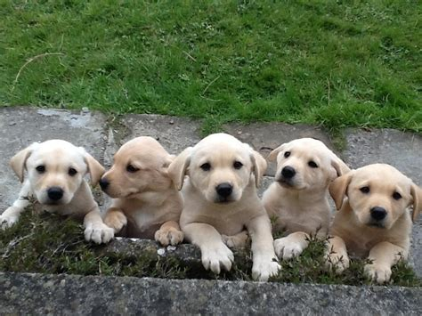 9 week lab puppy gorgeous yellow labrador puppies 9 weeks frome somerset pets4homes