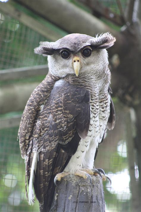 Penghapus Bentuk Burung Owl T1704001 bubo sumatranus inilah burung hantu yang sakti dari sumatera konfrontasi
