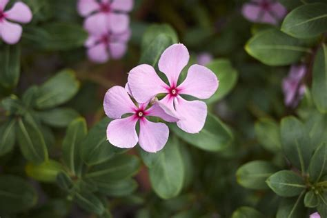cural impatance of rosy periwinkle unlocking the secrets of a cancer fighting flower