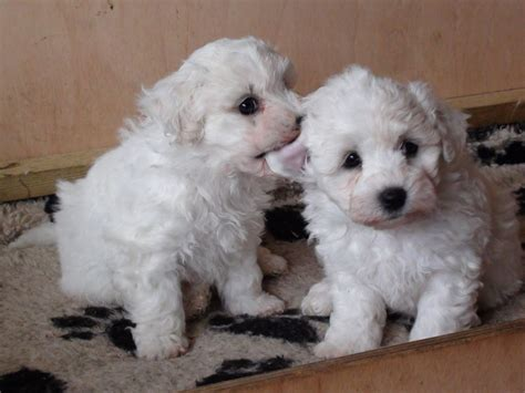 bichon puppies kc reg bichon frise puppies for sale boton bolton greater manchester pets4homes