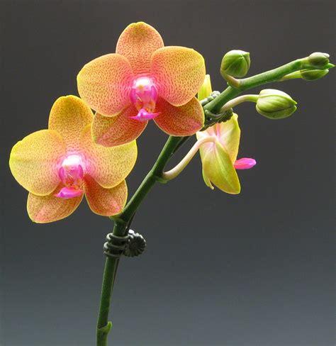 orchid colors miniature moth orchids orchidaceous orchid