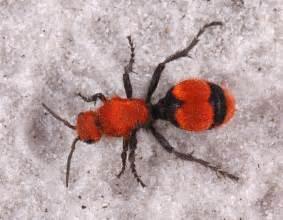 red black bug iv ent 425 general entomology